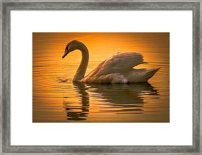 Sunset Swan Framed Print by Brian Stevens
