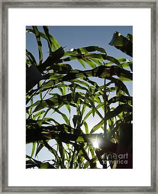 Sunshine In The Corn Field Framed Print by D Hackett