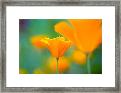 Sunshine Poppy Framed Print by Sarah-fiona  Helme