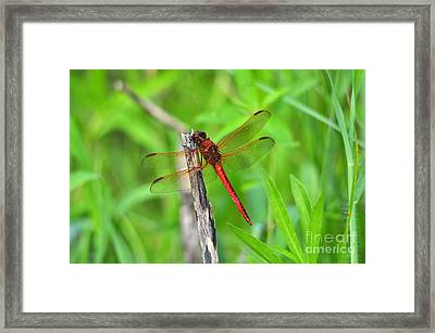 Superb Skimmer Framed Print by Al Powell Photography USA
