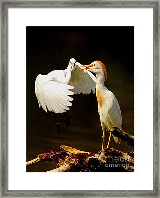 Suprised Cattle Egret Framed Print by Robert Frederick
