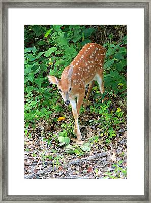 Surprised Fawn Framed Print by Lorna Rogers Photography