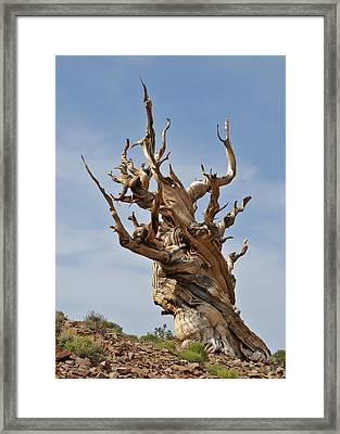 Survival Expert Bristlecone Pine Framed Print by Christine Till