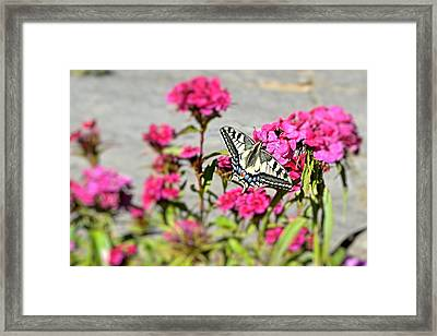 Swallow Tail Framed Print by Dave Woodbridge