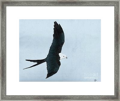 Swallow Tailed Kite Framed Print by D Hackett