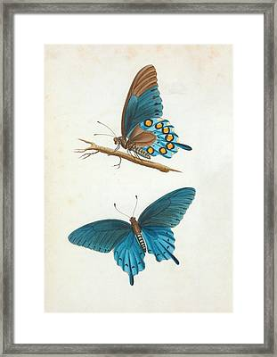 Swallowtail Butterfly Framed Print by General Research Division/new York Public Library