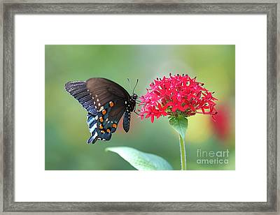 Swallowtail Framed Print by Pamela Gail Torres