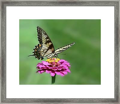 Swallowtail Visit - 2011 Framed Print by Nikolyn McDonald