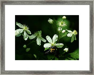 Swamp Rose With Carpenter Bee Framed Print by Rebecca Sherman