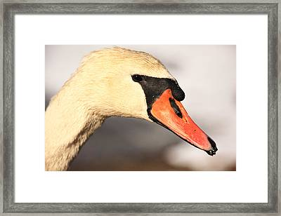 Swan Close Up Framed Print by Karol Livote
