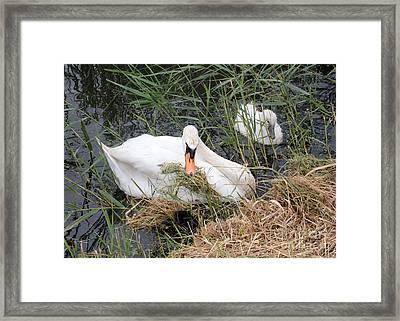 Swan Family In Dutch Canal Framed Print by Carol Groenen
