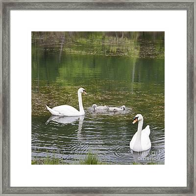 Swan Family Squared Framed Print by Teresa Mucha