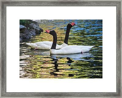 Swan Lake Framed Print by Jamie Pham