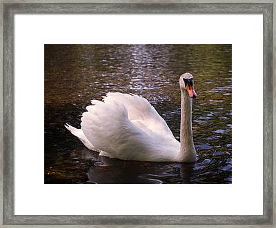 Swan Pose Framed Print by Rona Black