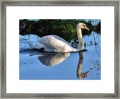 Swan Reflection Framed Print by Barry Goble
