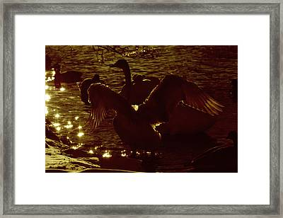 Swan Spreads Its Wings Wide Framed Print by Toppart Sweden