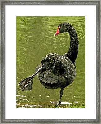 Swan Yoga Framed Print by Rona Black
