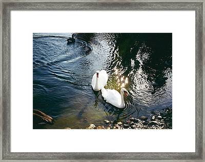 Swans Framed Print by Cynthia Hilliard