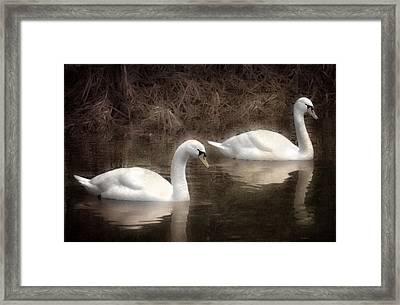 Swans For Life Framed Print by Jason Green