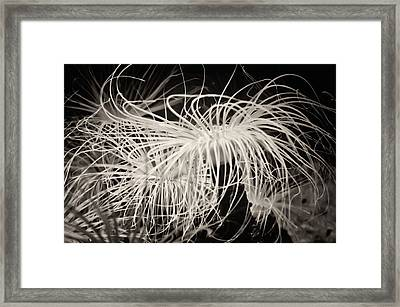 Swaying Anemone Bw Framed Print by Heather Applegate