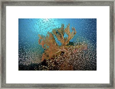 Sweeper Fish (pempheridae Framed Print by Jaynes Gallery