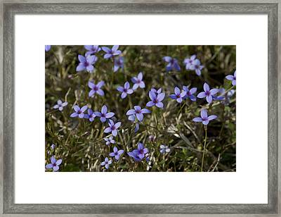 Sweet Alabama Tiny Bluet Wildflowers Framed Print by Kathy Clark