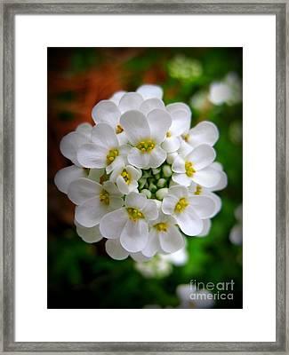 Sweet Alyssum Framed Print by Patti Whitten