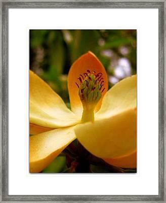 Sweet Bay Magnolia Framed Print by Jhoy E Meade
