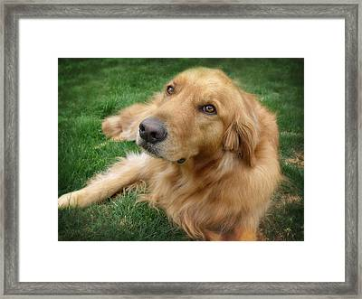 Sweet Golden Retriever Framed Print by Larry Marshall