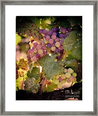 Sweet Grapes Framed Print by Ana V  Ramirez