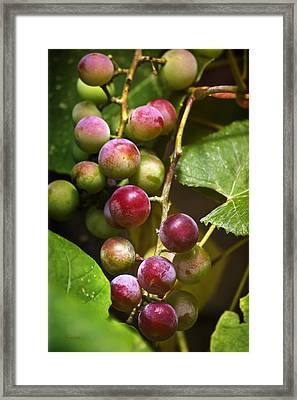 Sweet Grapes Framed Print by Christina Rollo