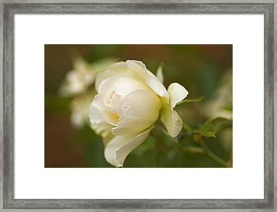 Sweet Home Rose Framed Print by Nick  Boren