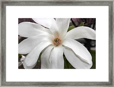 Sweet Magnolia Framed Print by Judy Palkimas