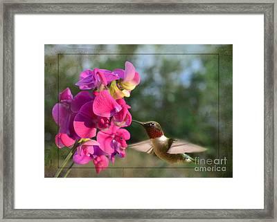 Sweet Pea Hummingbird II Framed Print by Debbie Portwood
