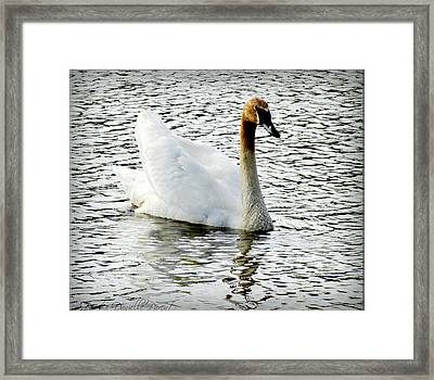 Sweet Swan Swimming Framed Print by Danielle  Parent