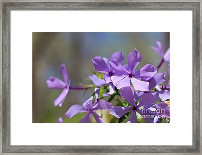 Sweet William Purple Wildflower Springtime Framed Print by Adam Long