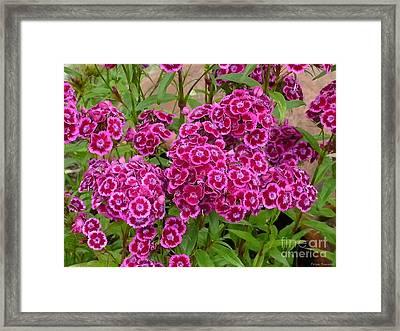 Sweet William Framed Print by Tresa Burnett