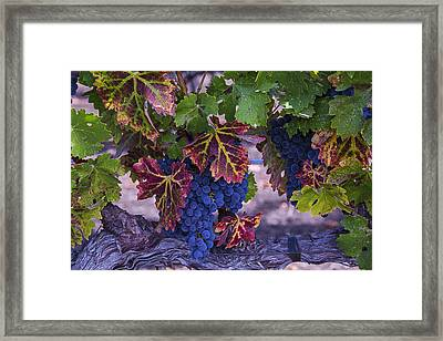 Sweet Wine Grapes Framed Print by Garry Gay