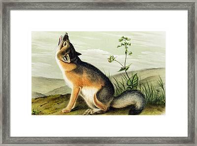 Swift Fox Framed Print by John James Audubon