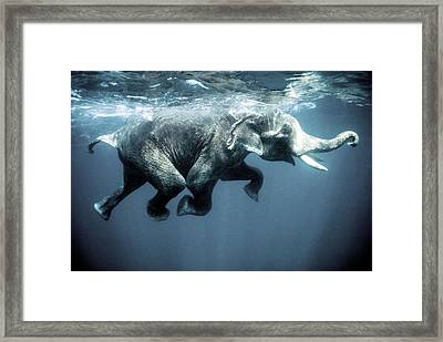 Swimming Elephant Framed Print by Olivier Blaise