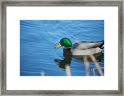 Swimming Mallard Framed Print by Allan Morrison