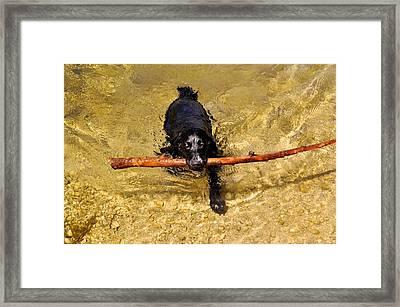 Swimming Spaniel Framed Print by Kristina Deane