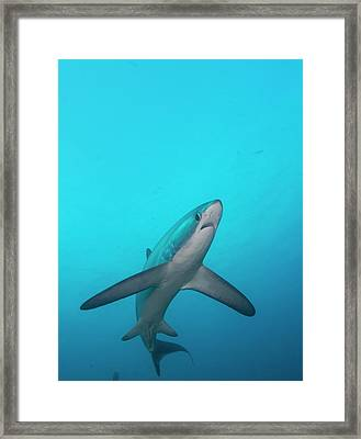Swimming Thresher Shark Framed Print by Scubazoo