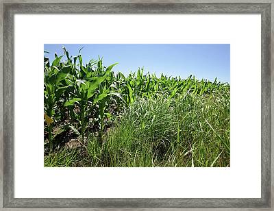 Switchgrass And Maize Crop Study Framed Print by Peggy Greb/us Department Of Agriculture