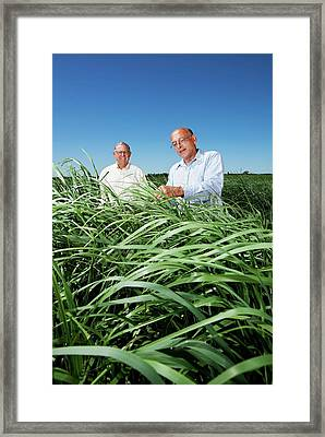 Switchgrass Crop Research Framed Print by Peggy Greb/us Department Of Agriculture