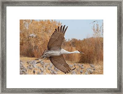Swooping Sandhill  Framed Print by Ruth Jolly
