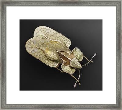 Sycamore Lace Bug Sem Framed Print by Albert Lleal