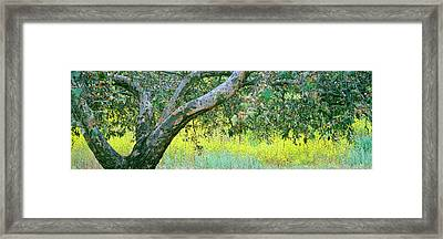Sycamore Tree In Mustard Field, San Framed Print by Panoramic Images