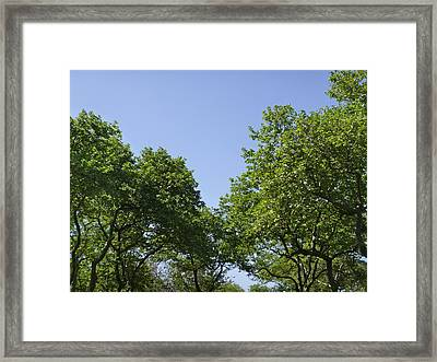 Sycamores In June Framed Print by Ellen Paull