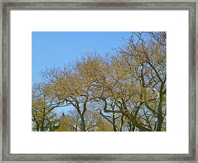 Sycamores In Spring Framed Print by Ellen Paull